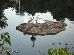 oche-geese (Margcoss) Tags: sardegna italy geese italia oca riflesso laghetto oche gallura margcoss
