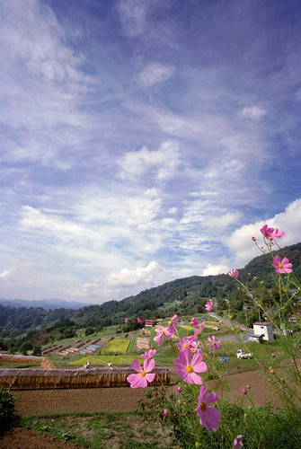 Cosmos,autumnal sky,and terraced paddy fields.