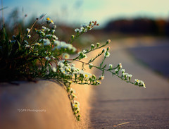 making an escape! (riggsy23) Tags: street autumn flower fall field canon weed bokeh 100mm sidewalk curb depth