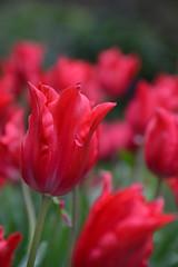 Pretty woman (Jojoe.photography) Tags: flowers spring nikon tulips wellington prettywoman wellingtonbotanicgardens d7000