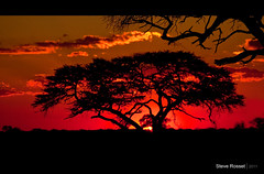 Made in Africa (Steve Rosset) Tags: africa travel trees sunset red orange sun tree nature beautiful silhouette june clouds contrast landscape geotagged outdoor vibrant branches deep dramatic safari planet zimbabwe canopy majestic geo hwange 2011 steverosset geoafrica