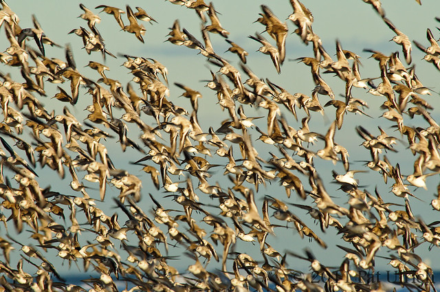 Flock of sandpipers in flight