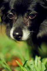 ohai (Sarah Nieves) Tags: portrait dog porject365