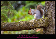Autumn Series 1 - 4 (Black Stallion Photography) Tags: autumn black tree season photography scotland squirrel branch time snack stallion igallopfree