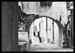 Curiosity killed the cat (ColdSummerPics) Tags: street blackandwhite monochrome cat mono bn curiosity gatto biancoenero curiosit thelittledoglaughed thecatwhoturnedonandoff coldsummerpics salvobombara