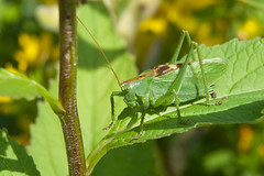 "Grasshopper: ""I am looking at you!"" *  (v.plessky) Tags: summer macro green leaf stem raw russia top vivid photographers sigma dynax7d 7d grasshopper dynax jpeg campanilla bluebell sauterelle glockenblume  konicaminolta cavalletta saltamontes gafanhoto campanule  grashpfer  2011   sigmalens supershot sigma2470mmf28exdg topshots   abigfave impressedbeauty campnula  sigmaexdg  2470mmf28exdg vadimplessky ahqmacro     brigettes panoramafotogrfico campanlla mygearandme"