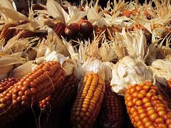 029 (massigrillo) Tags: corn mais santostefanodaveto flickrstruereflection1