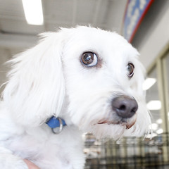 """Jenny's """"Concerned"""" Side Glance (Immature Animals) Tags: arizona rescue dog baby white chihuahua animal hair puppy big wire puppies desert tucson adorable ears wirehaired pima terrier bark poodle adopt haired lhasa neuter spay apso koalition pacc"""
