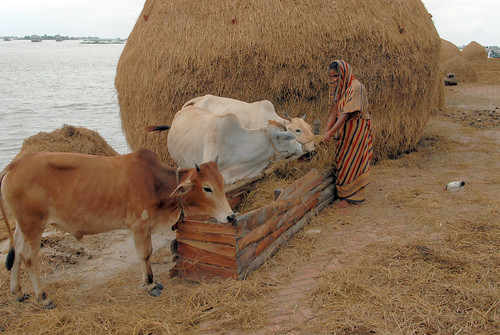 A fisherwoman feeding her cows, Bangladesh. Photo by WorldFish, 2007.