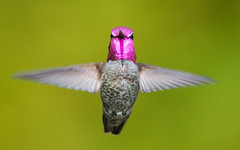 Annas Hummingbird Male Picture