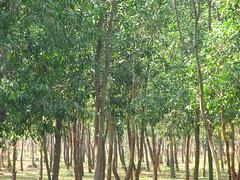 Around Sonajhuri forest (Weekend Destinations) Tags: santiniketan sonajhuri