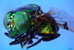 mosca6 (Orlando Barros Bonni) Tags: macro fly amazon insects stack da fotografia em mosca insetos amaznia camadas raynox varejeira