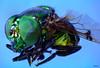 mosca6 (Orlando Barros Bonni) Tags: macro fly amazon insects stack da fotografia em mosca insetos amazônia camadas raynox varejeira