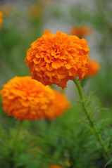 Marigold (Khakibush) (faungg's photos) Tags: flowers wallpaper plants color colour nature colors closeup garden golden nikon dof blossom bokeh vivid blossoming carnation  marigold 18200 blooming greenbackground   d90    faungg