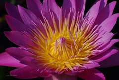 Queen of Siam Water Lily (SDWelch1031) Tags: flower color horizontal photography nikon waterlily nobody copyspace queenofsiam nymphaeaceae photoimagesofflowers