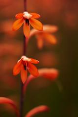 Roadside Watsonia (Ranga 1) Tags: red flower nature closeup bulb nikon australian australia victoria explore davidyoung watsonia gardenescape murrindindi flickraward afsnikkor50mm14g beyondbokeh flickraward5 murrindindivalley