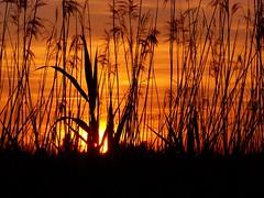 In the middle of the reed (Ssusanne) Tags: sunset sky orange sun lake reed nature silhouette clouds landscape austria evening abend sterreich sonnenuntergang natur hard himmel wolken bodensee landschaft sonne constance schilf naturschutzgebiet abends vorarlberg naturlandschaft rheindelta