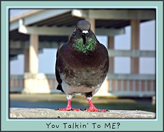 You Talkin' To ME? (Chris C. Crowley) Tags: bridge bird animal pigeon feathers youtalkintome pigeonwithanattitude chriscrowley celticsong22 newsmyrnabeachflorida