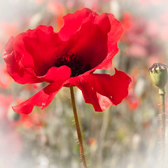 He stood alone (Ruth Flickr) Tags: red stem pod flora alone head ngc seed explore poppy remembrance vignette blackstone 0111jpg explore432 flickrsfantasticflowers worcestershirewildlifetrust