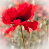 He stood alone (Ruth Flickr) Tags: red stem pod flora alone head ngc seed explore poppy remembrance vignette blackstone 0111jpg explore432 flickrsfantasticflowers worcestershirewildlifetrust