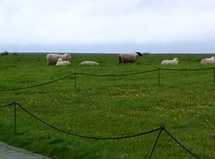 The Sheep of Stonehenge