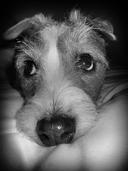 Holly the Jack Russell. (CWhatPhotos) Tags: pictures camera blackandwhite dog pet pets white colour cute dogs monochrome animal animals shop digital canon hair that jack ginger wire rat jrt paint russell power with shot image little photos walk small picture adorable straw 9 canine run jr images holly powershot wirehaired have terrier adobe jackrussell type pro wired rough breed haired coloured which trot jackrussellterrier ratterrier contain bonny compact called s90 lightroom ratterriers ratter cwhatphotos strawandwhite