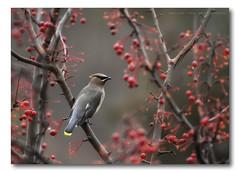 Cedar Waxwing (robin ...) Tags: autumn bird birds wisconsin canon 7d waxwing cedarwaxwing canonef100400mmf4556lisusm canoneos7d canon7d img26361cr