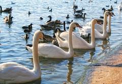 Swanning About The Serpentine (.::Prad Patel::.) Tags: lake london water birds ducks swans hydepark
