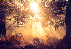 autumn leaves (andrew evans.) Tags: lighting morning autumn trees light england sun mist nature misty fog fairytale forest sunrise wonderful landscape golden countryside kent woods nikon f14 85mm ethereal flare rays sunrays wonderland magical enchanted d3