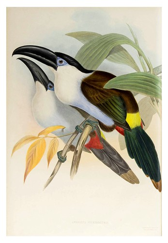 010-Tucan de montaña pico negro-Supplement of the Ramphastidae or family of Toucans Gould John-1855