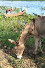 Jumento (unaventanamas) Tags: animals farm burro jumento fazenda finca