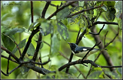 Black-throated Blue Warbler (Kevin B Photo) Tags: park autumn trees wild plants usa plant color tree male green bird fall nature beautiful beauty birds horizontal closeup america outdoors photography one wings colorful day afternoon exterior unitedstates natural feeding florida native action wildlife south small wing peaceful calm southern perch vegetation daytime perched fl southeast winged avian serenitynow kevinbarry blackthroatedbluewarbler wowiekazowie oletariverstatepark 100ypl