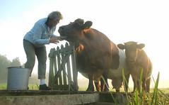 tell me... (Harry Mijland) Tags: holland boer cow cows farmer care koe koeien kortenhoef zorg dearharry harrymijland