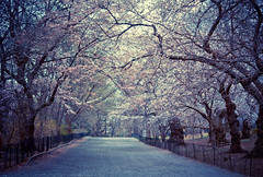 Cherry Blossoms - Spring - Central Park - New York City (Vivienne Gucwa) Tags: nyc newyorkcity trees nature landscape centralpark manhattan urbannature cherryblossoms gothamist curbed uppereastside bridlepath springblossoms cherryblossomtrees uppermanhattan wnyc nycphoto centralparkbridlepath blossomingtrees cityphoto newyorkphoto nycphotography centralparktrees centralparkspring springnyc newyorkcityspring beautifulcentralpark viviennegucwa viviennegucwaphotography TGAM:photodesk=spring2012 centralparkpath beautifulspringtrees springbridlepath treesbridlepath
