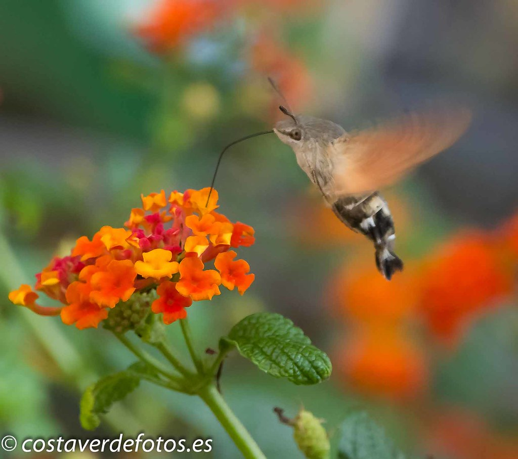Macroglossum stellatarum  (43 of 128).jpg