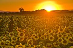 Dando la espalda al sol (PloPh) Tags: flores flower color sunshine atardecer amarillo sunflowers puestadesol girasol atapuerca ltytr1