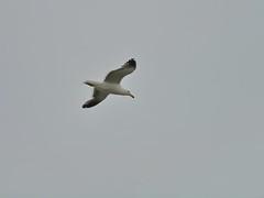 Juan Salvador (Asetah) Tags: seagull biobio gaviota
