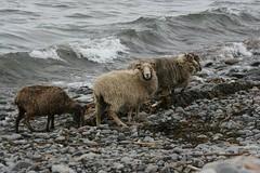 sea weed eating sheep