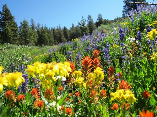 Ridiculous alpine wildflowers