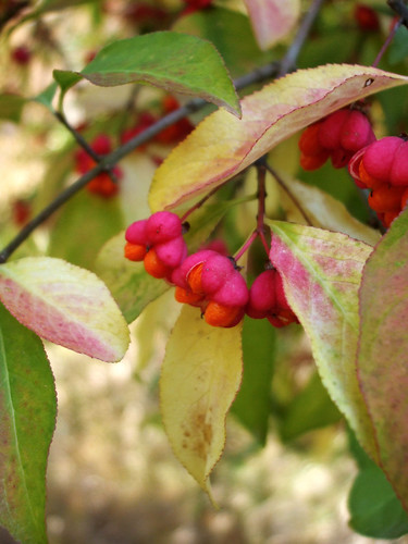 Spindle Tree by amandaschroeder
