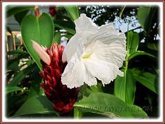 Cheilocostus speciosus, syn: Costus speciosus (Cane Reed, Spiral Flag, White Costus, Crepe Ginger)