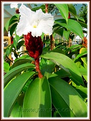 Crepe-like flowers of Cheilocostus speciosus, syn: Costus speciosus (Cane Reed, Spiral Flag, White Costus, Crepe Ginger)