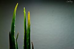 Aloe (astr0jeff) Tags: light plants plant green nature yellow healthy aloe reaching small minimalism simple aloevera skincare