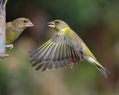[Explore] Greenfinch in flight (Paul - Herts) Tags: birdfeeder explore birdsinflight greenfinch hertfordshire carduelischloris herts gardenbirds britishbirds ukwildlife gardenfeeder canon300mmf4 ukbirds canon40d greenfinchinflight hertswildlife