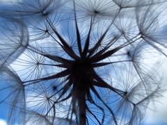 Dandelion (ambo333) Tags: uk england sky flower weeds weed wind seed dandelion seeds cumbria breeze dandelions brampton taraxacum