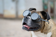 Buscando las alturas 2 / Explored (Aldo Tapia A.) Tags: dog nikon canine can perro boxer funnydog femaledog perra dogportrait canislupusfamiliaris retratoperro nikond3100 retratoperra