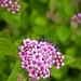 Pink Spiraea