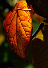 like an autumn leaf (Leonard John Matthews) Tags: colour nature beautiful proud leaf truth creation bible environment fade veins lovely isaiah scripture verse proudly prophecy righteous deeds mythoto isaiah646