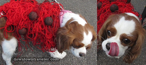 Tompkins Park Halloween Dog Parade_Cavalier King Charles as Spaghetti and Meatballs