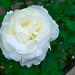 ホワイト クィーン エリザベス(White Queen Elizabeth)